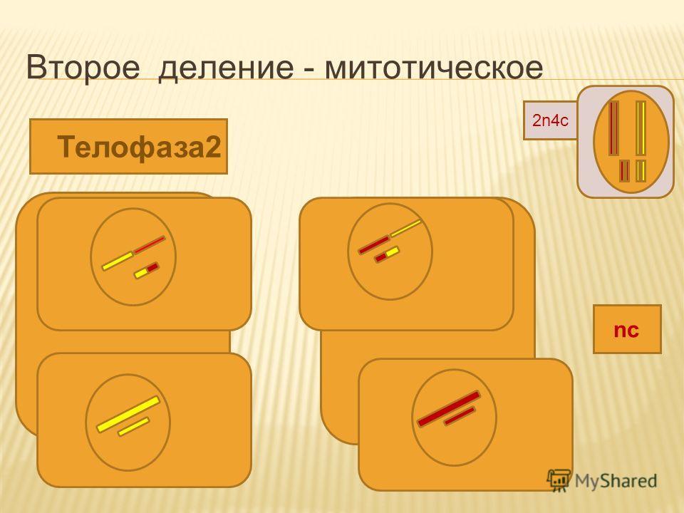 Второе деление - митотическое Телофаза2 nc 2n4c