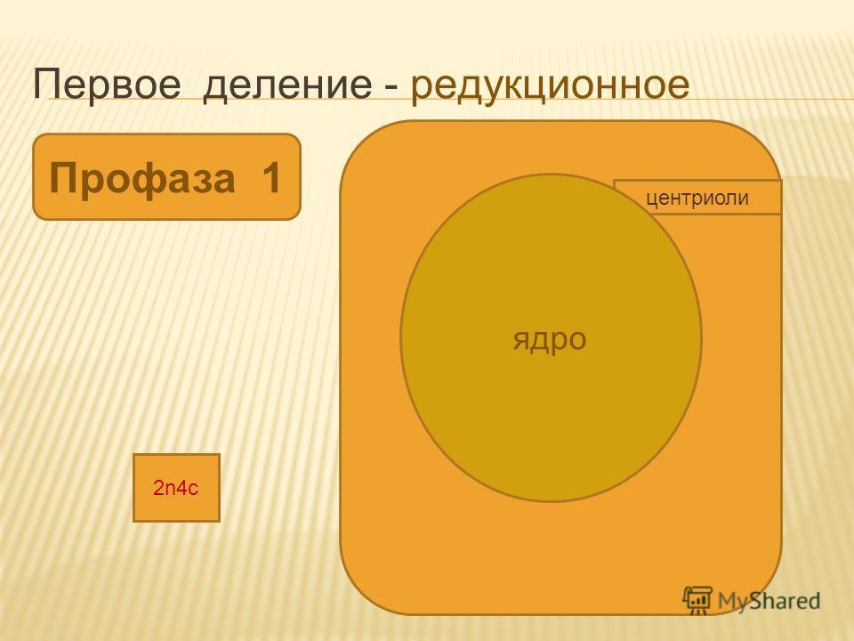 Первое деление - редукционное Профаза 1 центриоли ядро 2n4с