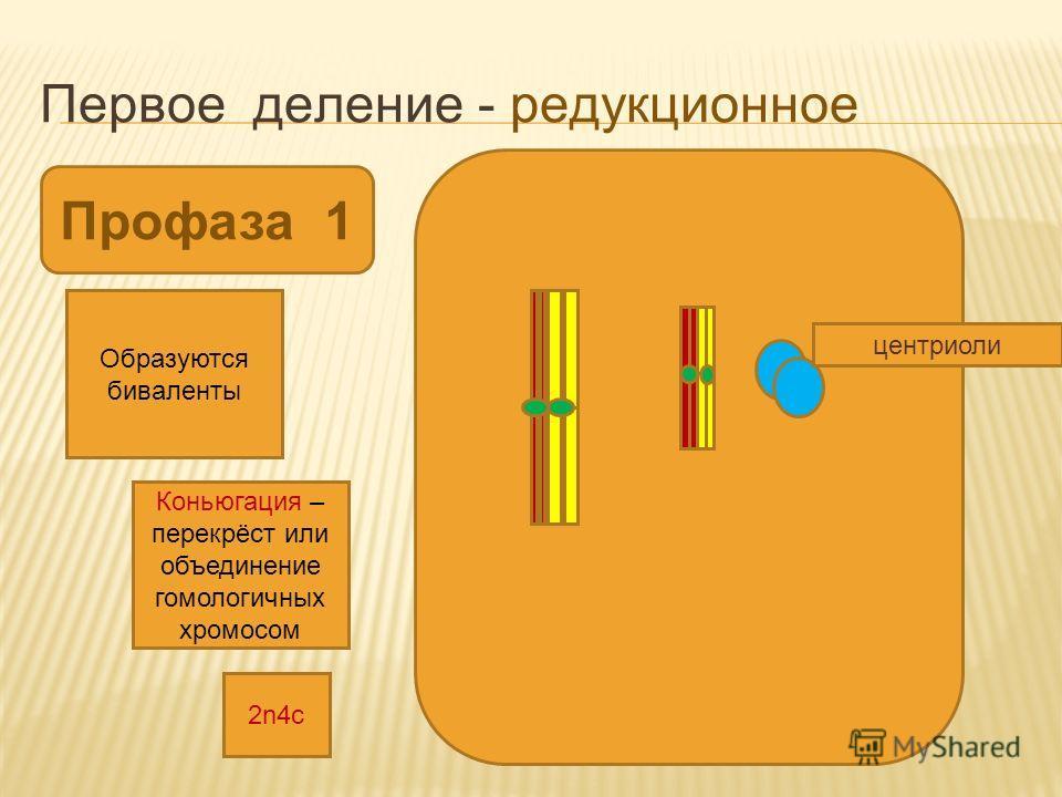 Первое деление - редукционное Профаза 1 Коньюгация – перекрёст или объединение гомологичных хромосом Образуются биваленты центриоли 2n4с