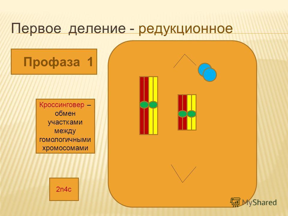 Первое деление - редукционное Профаза 1 Кроссинговер – обмен участками между гомологичными хромосомами 2n4с