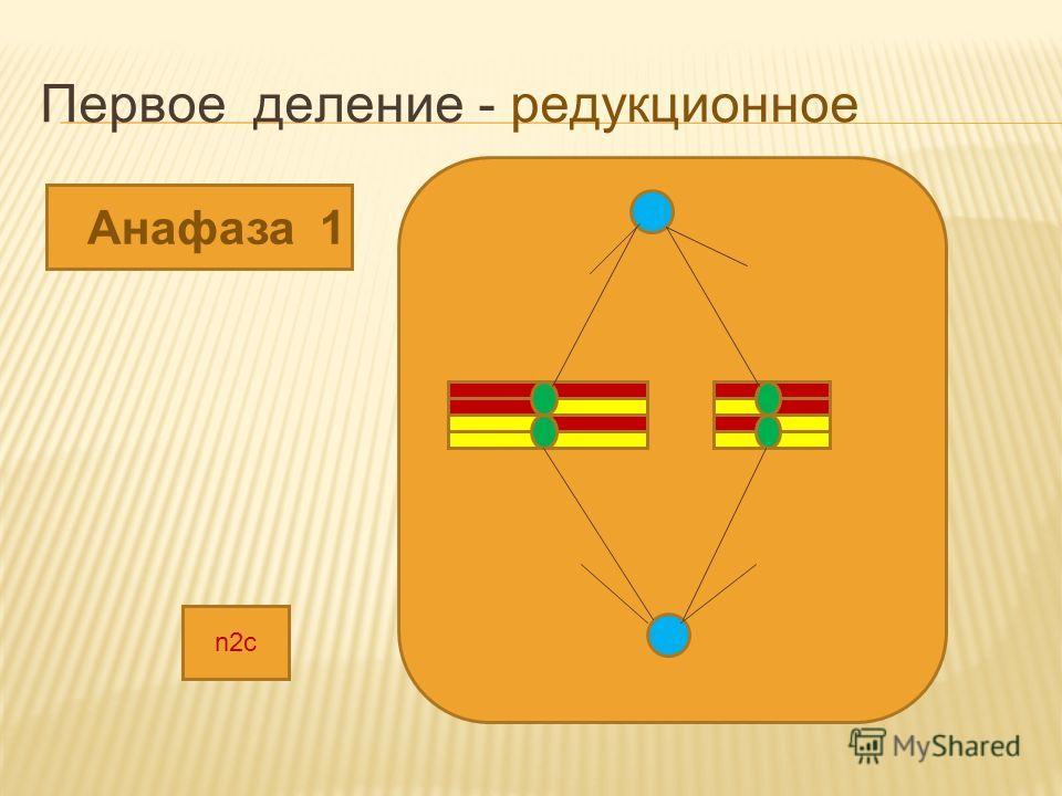 Первое деление - редукционное Анафаза 1 n2c