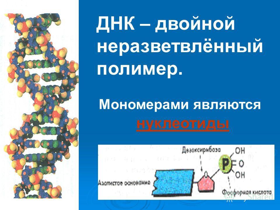 ДНК – двойной неразветвлённый полимер. Мономерами являются нуклеотиды
