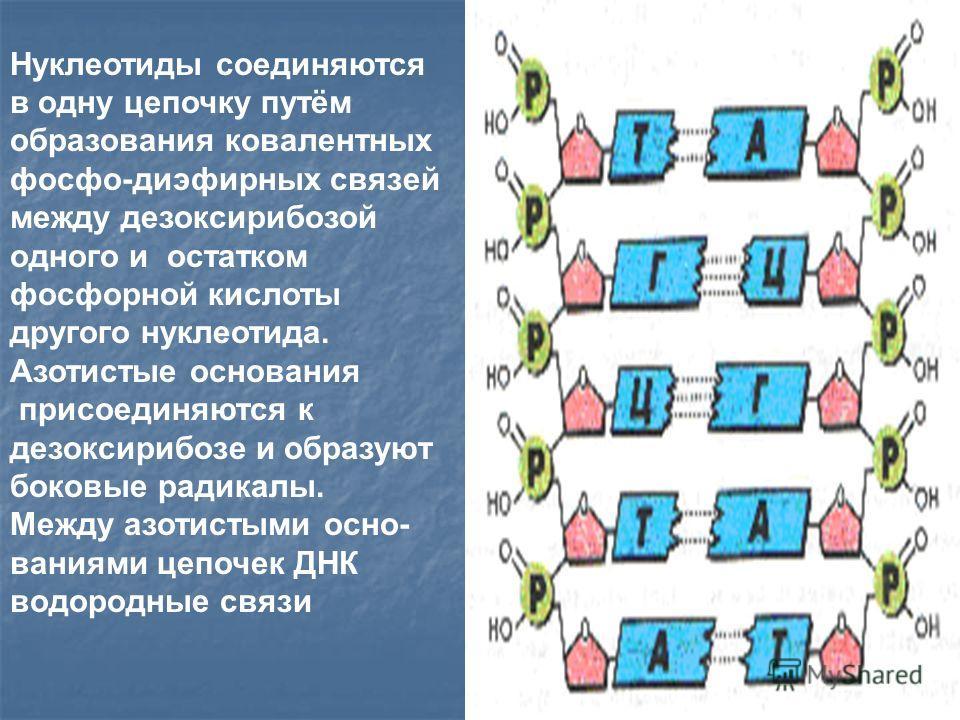 Нуклеотиды соединяются в одну цепочку путём образования ковалентных фосфо-диэфирных связей между дезоксирибозой одного и остатком фосфорной кислоты другого нуклеотида. Азотистые основания присоединяются к дезоксирибозе и образуют боковые радикалы. Ме