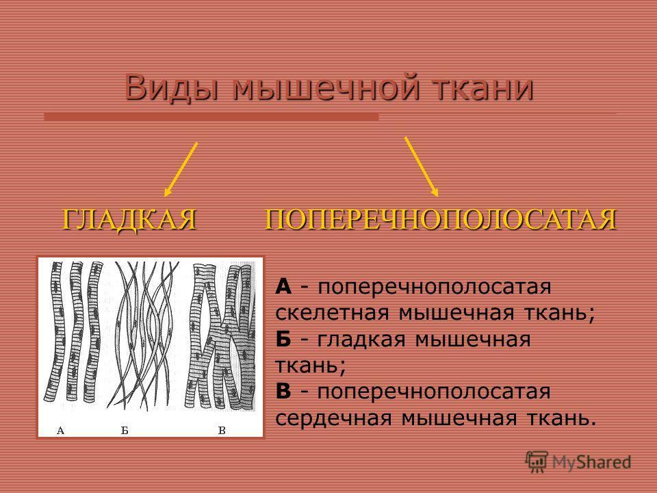 Виды мышечной ткани ГЛАДКАЯПОПЕРЕЧНОПОЛОСАТАЯ А - поперечнополосатая скелетная мышечная ткань; Б - гладкая мышечная ткань; В - поперечнополосатая сердечная мышечная ткань.