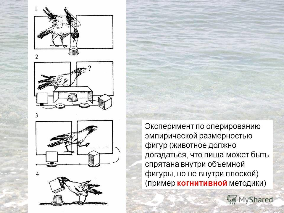 Эксперимент по оперированию эмпирической размерностью фигур (животное должно догадаться, что пища может быть спрятана внутри объемной фигуры, но не внутри плоской) (пример когнитивной методики)