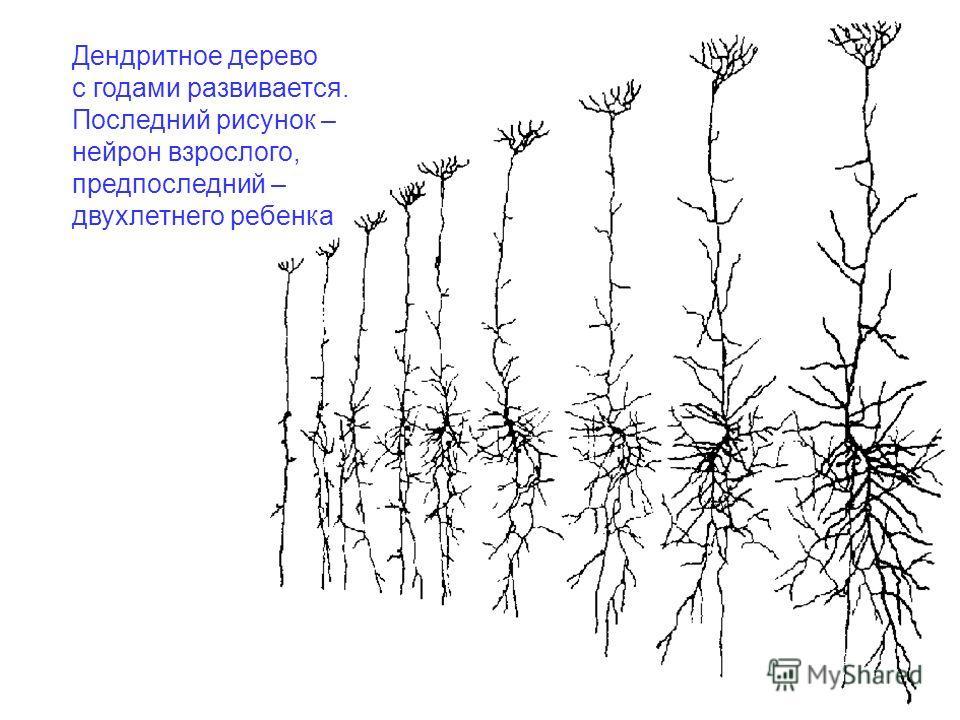 Дендритное дерево с годами развивается. Последний рисунок – нейрон взрослого, предпоследний – двухлетнего ребенка