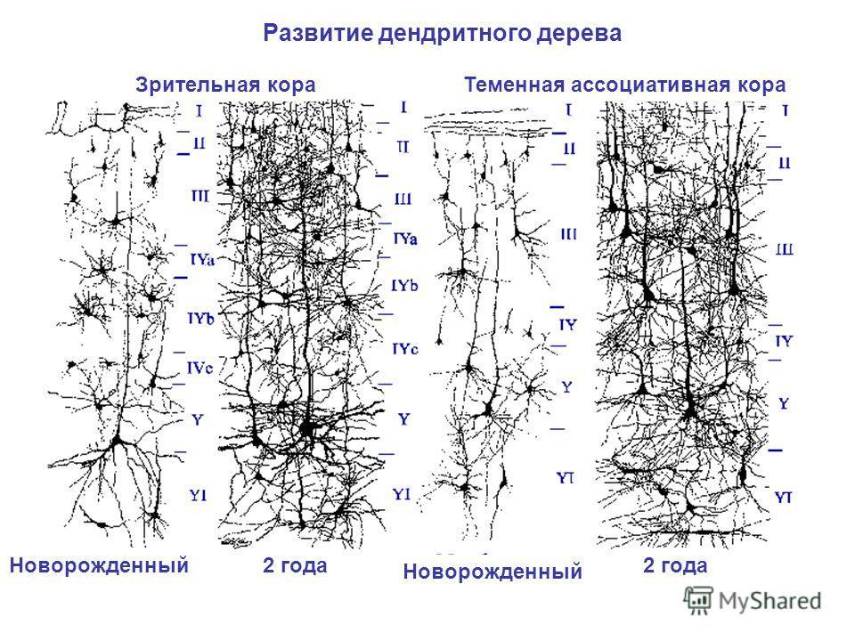 Теменная ассоциативная кораЗрительная кора 2 годаНоворожденный 2 года Развитие дендритного дерева