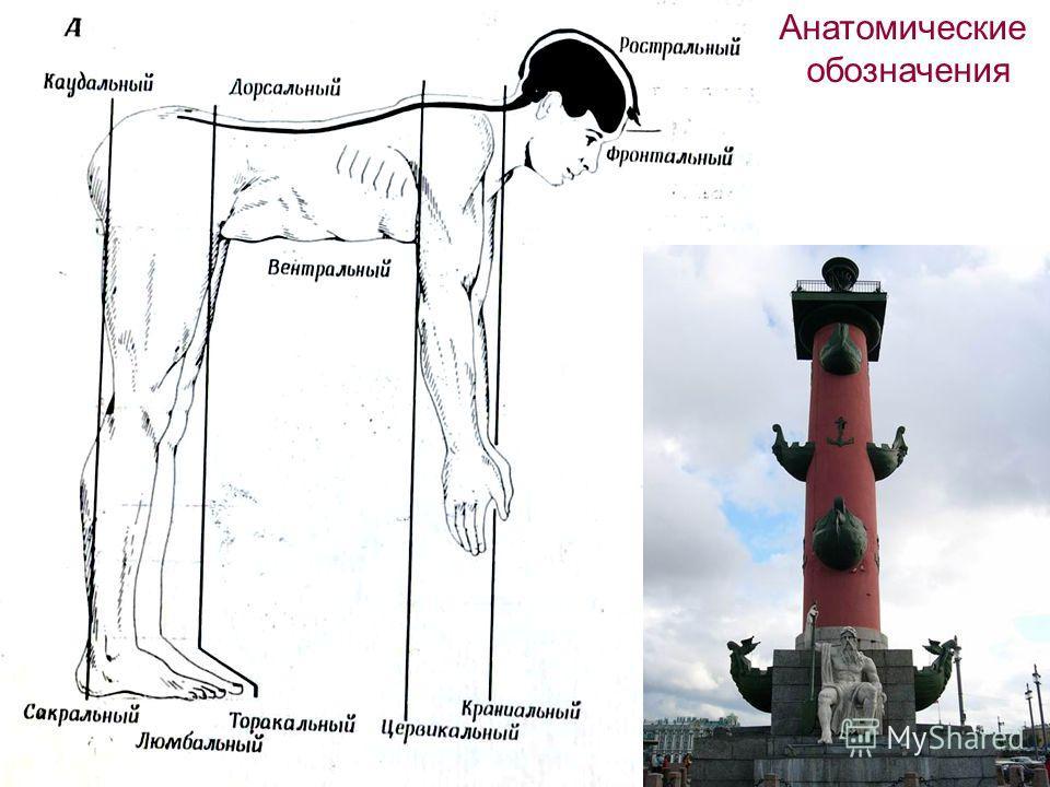 Анатомические обозначения