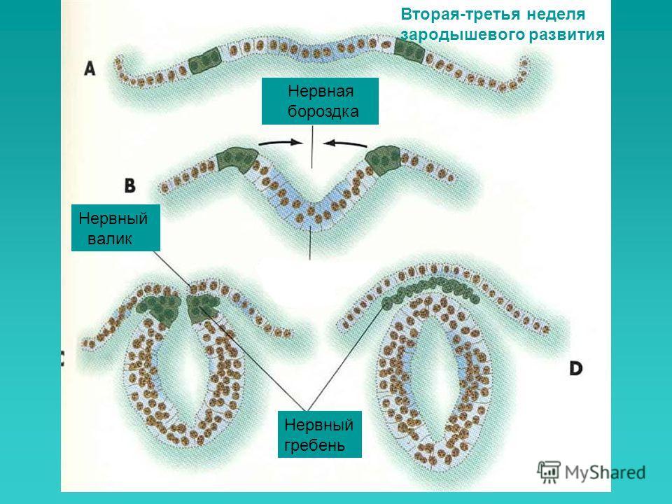 Нервный гребень Нервная бороздка Нервный валик Вторая-третья неделя зародышевого развития
