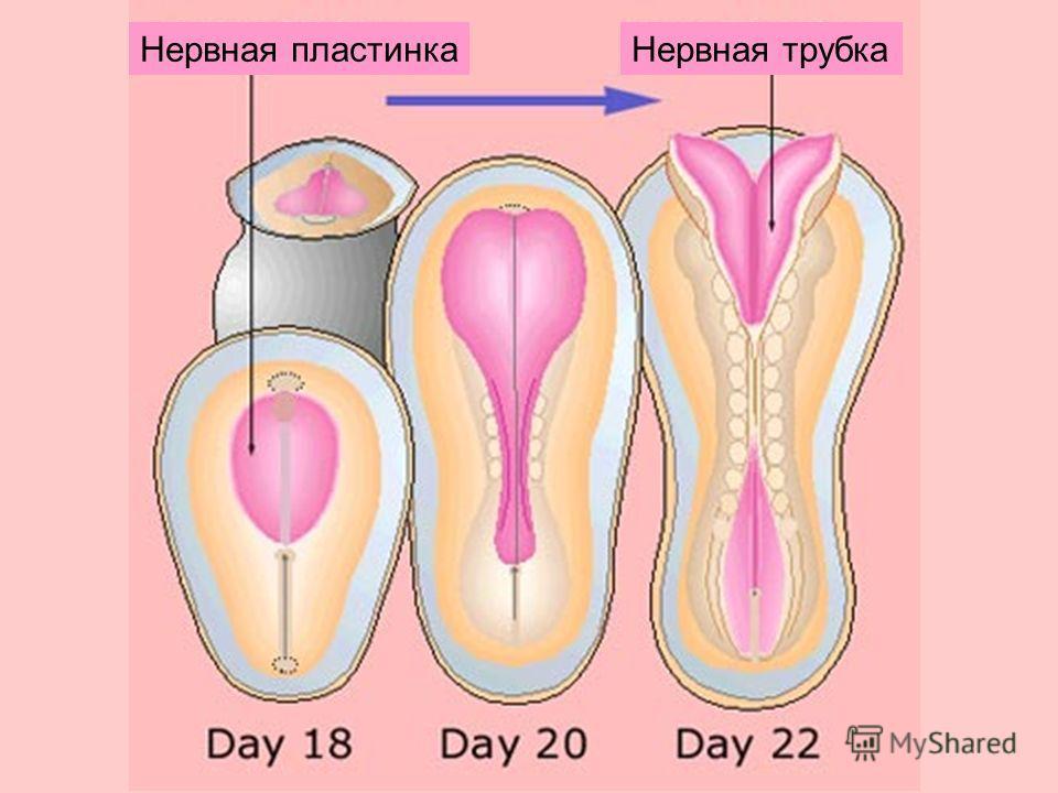 Нервная пластинкаНервная трубка