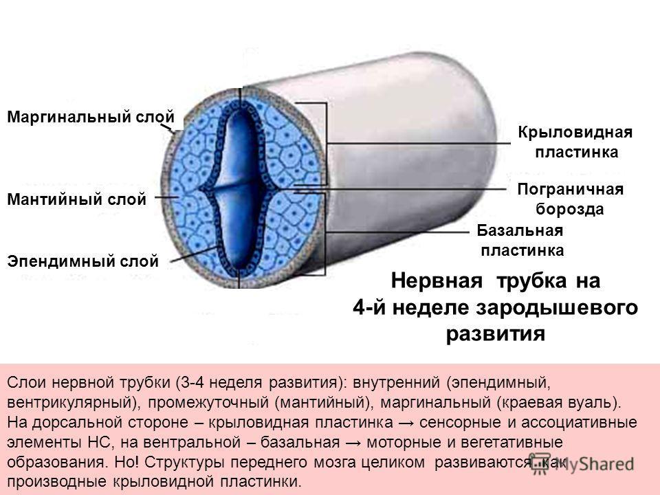 Слои нервной трубки (3-4 неделя развития): внутренний (эпендимный, вентрикулярный), промежуточный (мантийный), маргинальный (краевая вуаль). На дорсальной стороне – крыловидная пластинка сенсорные и ассоциативные элементы НС, на вентральной – базальн