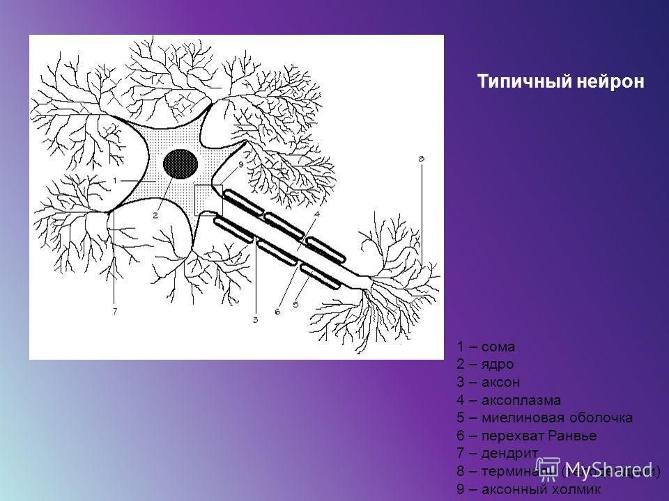 7 1 – сома 2 – ядро 3 – аксон 4 – аксоплазма 5 – миелиновая оболочка 6 – перехват Ранвье 7 – дендрит 8 – терминали (телодендрии) 9 – аксонный холмик Типичный нейрон