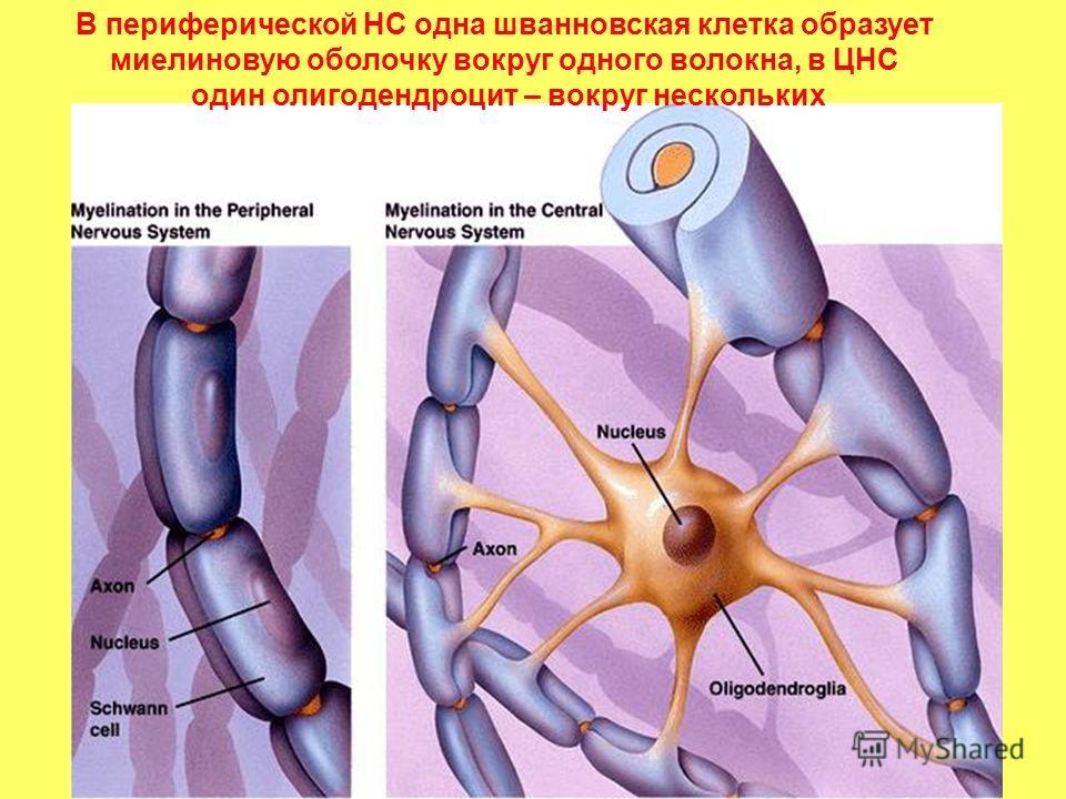 В периферической НС одна шванновская клетка образует миелиновую оболочку вокруг одного волокна, в ЦНС один олигодендроцит – вокруг нескольких