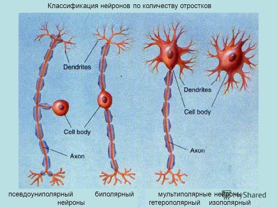 мультиполярные нейроны гетерополярный изополярный псевдоуниполярный биполярный нейроны Классификация нейронов по количеству отростков