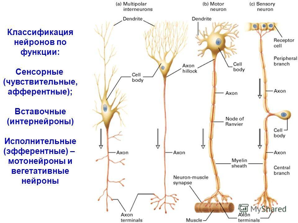 Классификация нейронов по функции: Сенсорные (чувствительные, афферентные); Вставочные (интернейроны) Исполнительные (эфферентные) – мотонейроны и вегетативные нейроны