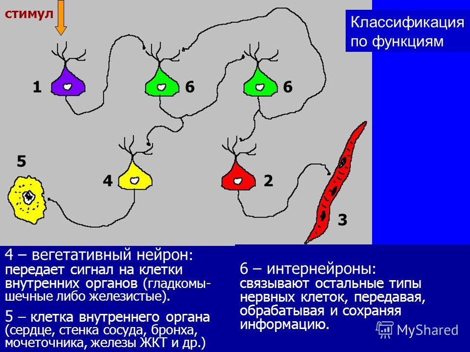 1 – сенсорный нейрон: воспринимает стимулы из внешней среды (либо из внутренней среды организма). 166 24 3 5 стимул 2 – двигательный нейрон (мотонейрон): передает сигнал на клетки скелетных мышц, запуская их сокращение. 3 – поперечнополосатая клетка