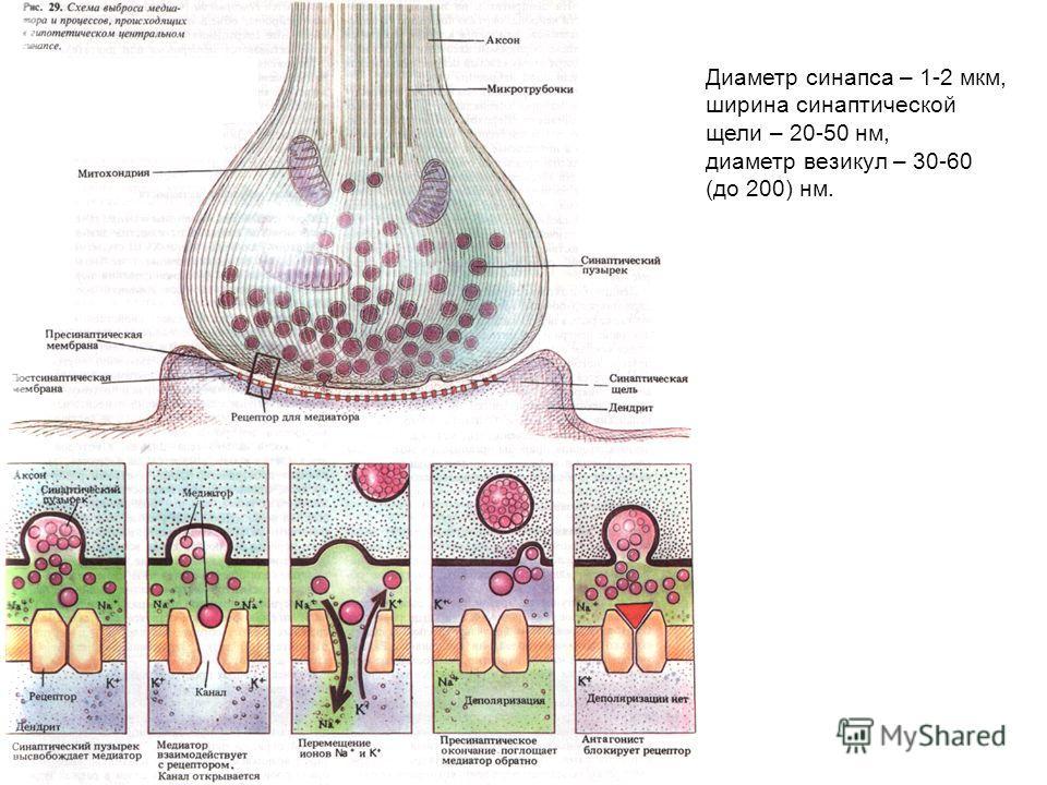 Диаметр синапса – 1-2 мкм, ширина синаптической щели – 20-50 нм, диаметр везикул – 30-60 (до 200) нм.