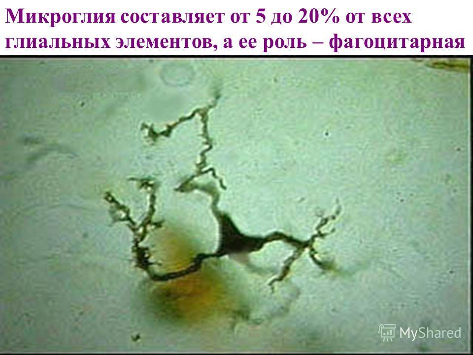 Микроглия составляет от 5 до 20% от всех глиальных элементов, а ее роль – фагоцитарная