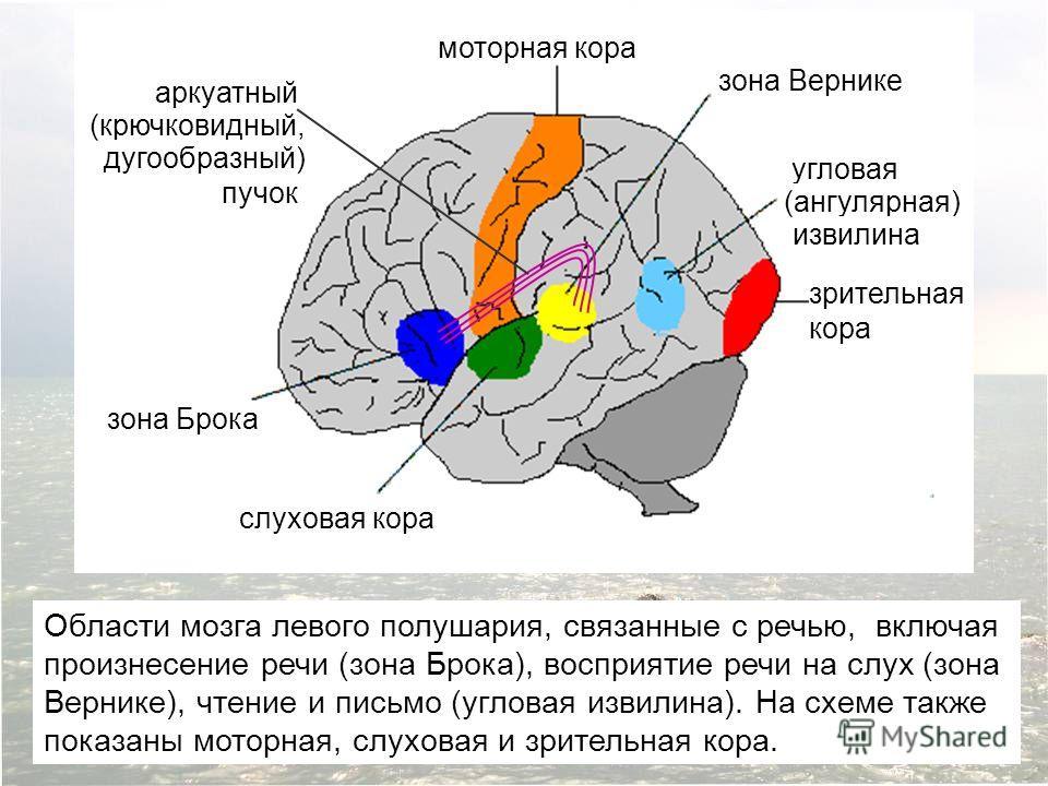 Области мозга левого полушария, связанные с речью, включая произнесение речи (зона Брока), восприятие речи на слух (зона Вернике), чтение и письмо (угловая извилина). На схеме также показаны моторная, слуховая и зрительная кора. зона Брока слуховая к