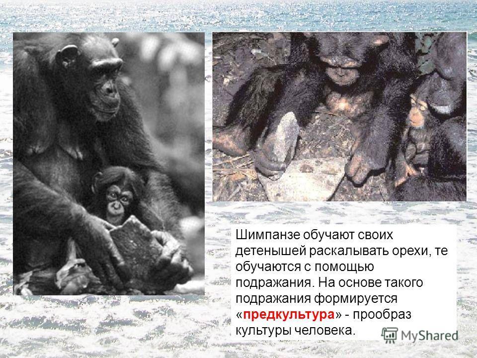 Шимпанзе обучают своих детенышей раскалывать орехи, те обучаются с помощью подражания. На основе такого подражания формируется «предкультура» - прообраз культуры человека.