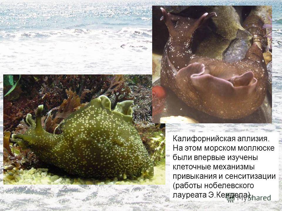 Калифорнийская аплизия. На этом морском моллюске были впервые изучены клеточные механизмы привыкания и сенситизации (работы нобелевского лауреата Э.Кендела).