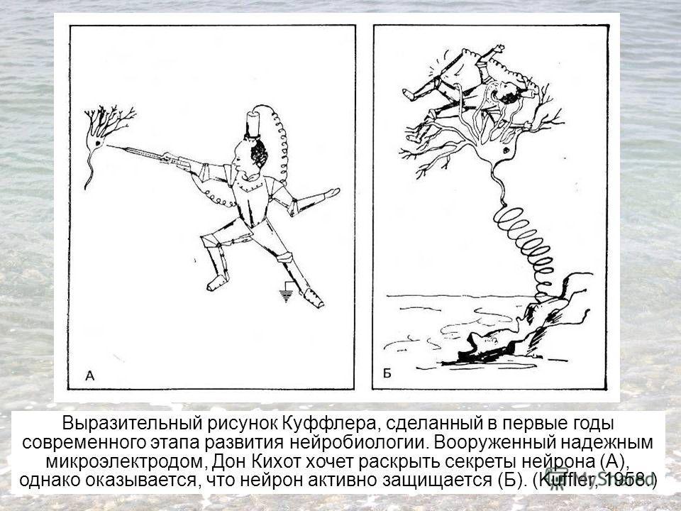 Выразительный рисунок Куффлера, сделанный в первые годы современного этапа развития нейробиологии. Вооруженный надежным микроэлектродом, Дон Кихот хочет раскрыть секреты нейрона (А), однако оказывается, что нейрон активно защищается (Б). (Kuffler, 19