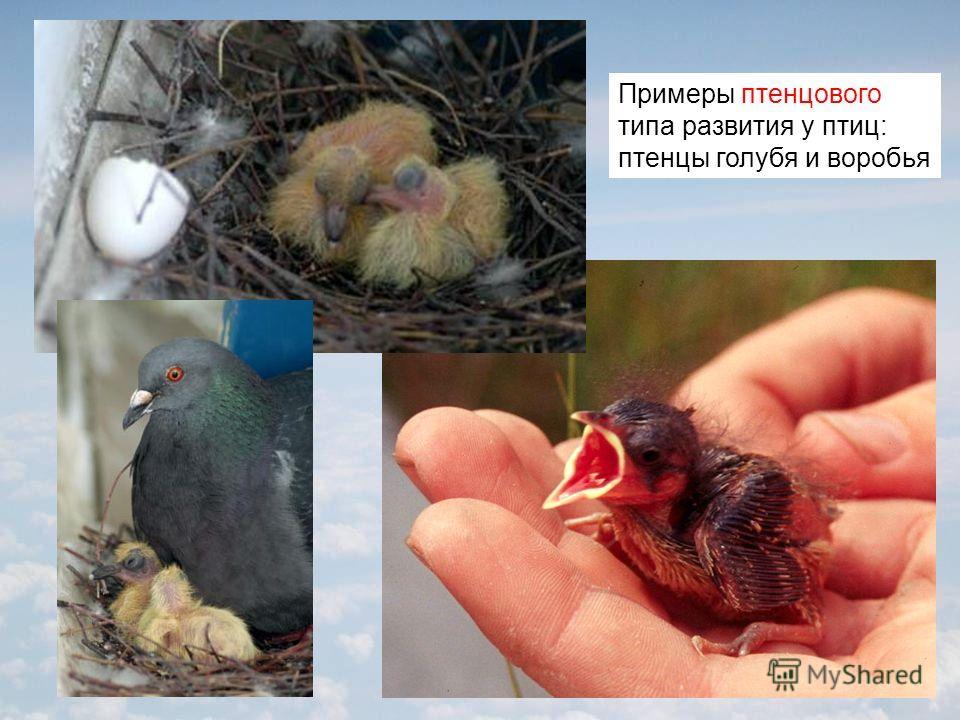 Примеры птенцового типа развития у птиц: птенцы голубя и воробья