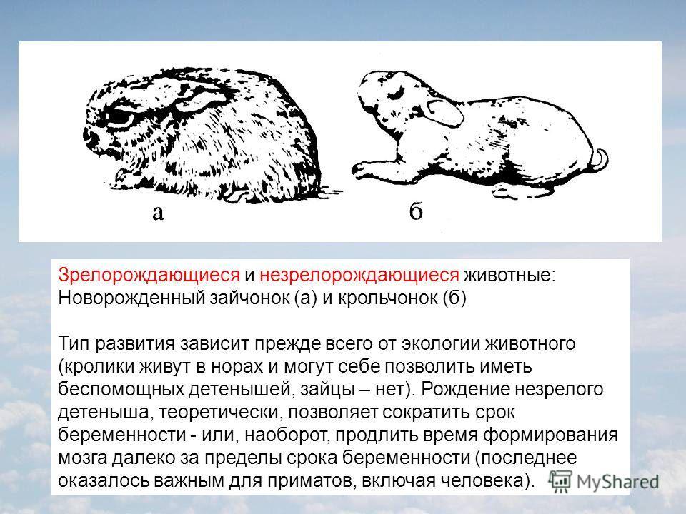 Зрелорождающиеся и незрелорождающиеся животные: Новорожденный зайчонок (а) и крольчонок (б) Тип развития зависит прежде всего от экологии животного (кролики живут в норах и могут себе позволить иметь беспомощных детенышей, зайцы – нет). Рождение незр