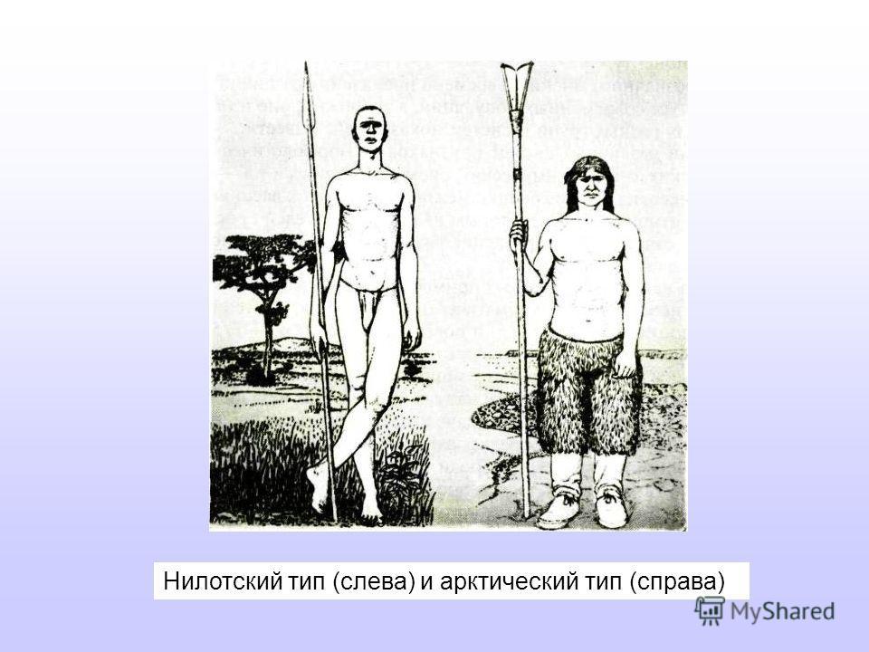 Нилотский тип (слева) и арктический тип (справа)