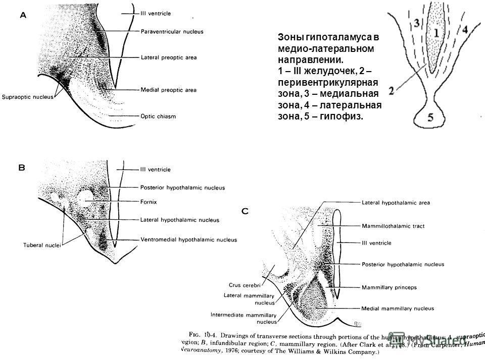 Зоны гипоталамуса в медио-латеральном направлении. 1 – III желудочек, 2 – перивентрикулярная зона, 3 – медиальная зона, 4 – латеральная зона, 5 – гипофиз.