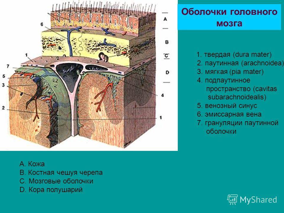 1. твердая (dura mater) 2. паутинная (arachnoidea) 3. мягкая (pia mater) 4. подпаутинное пространство (cavitas subarachnoidealis) 5. венозный синус 6. эмиссарная вена 7. грануляции паутинной оболочки Оболочки головного мозга А. Кожа B. Костная чешуя