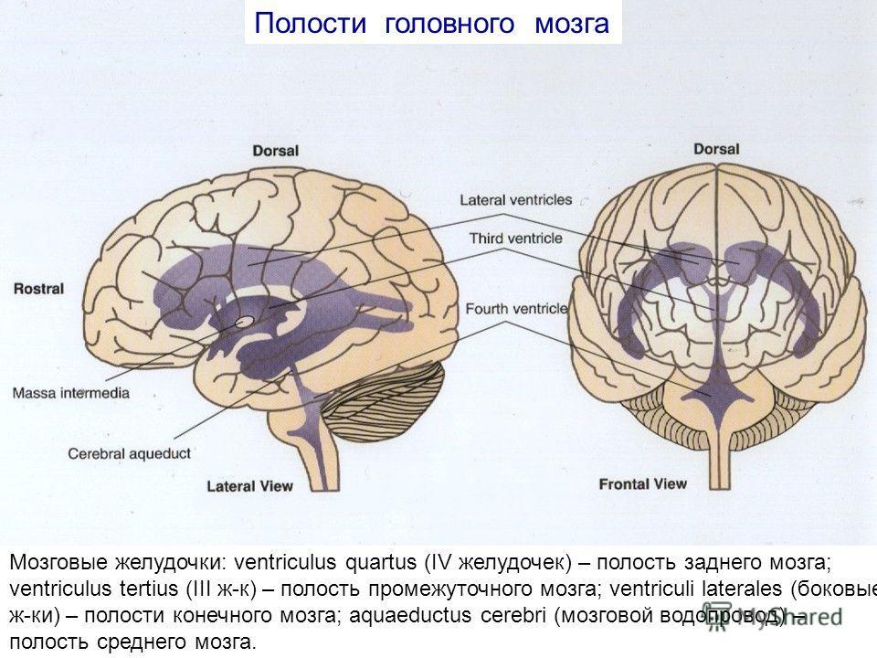 Мозговые желудочки: ventriculus quartus (IV желудочек) – полость заднего мозга; ventriculus tertius (III ж-к) – полость промежуточного мозга; ventriculi laterales (боковые ж-ки) – полости конечного мозга; aquaeductus cerebri (мозговой водопровод) – п