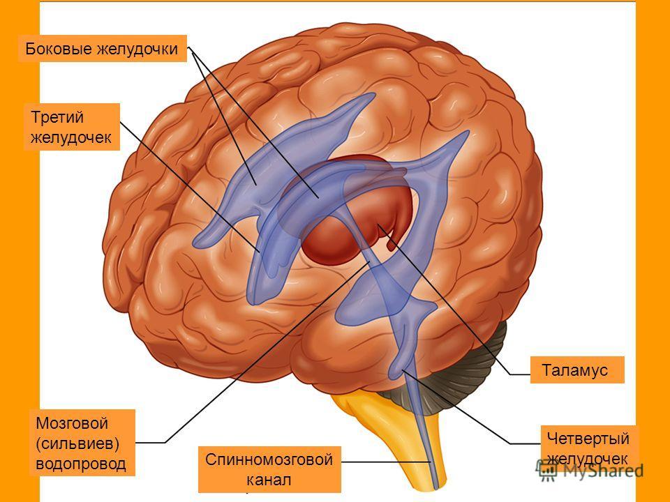 Боковые желудочки Третий желудочек Мозговой (сильвиев) водопровод Таламус Четвертый желудочек Спинномозговой канал ааа