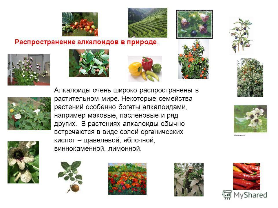Распространение алкалоидов в природе. Алкалоиды очень широко распространены в растительном мире. Некоторые семейства растений особенно богаты алкалоидами, например маковые, пасленовые и ряд других. В растениях алкалоиды обычно встречаются в виде соле