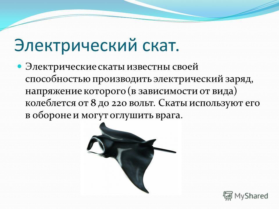Электрический скат. Электрические скаты известны своей способностью производить электрический заряд, напряжение которого (в зависимости от вида) колеблется от 8 до 220 вольт. Скаты используют его в обороне и могут оглушить врага.