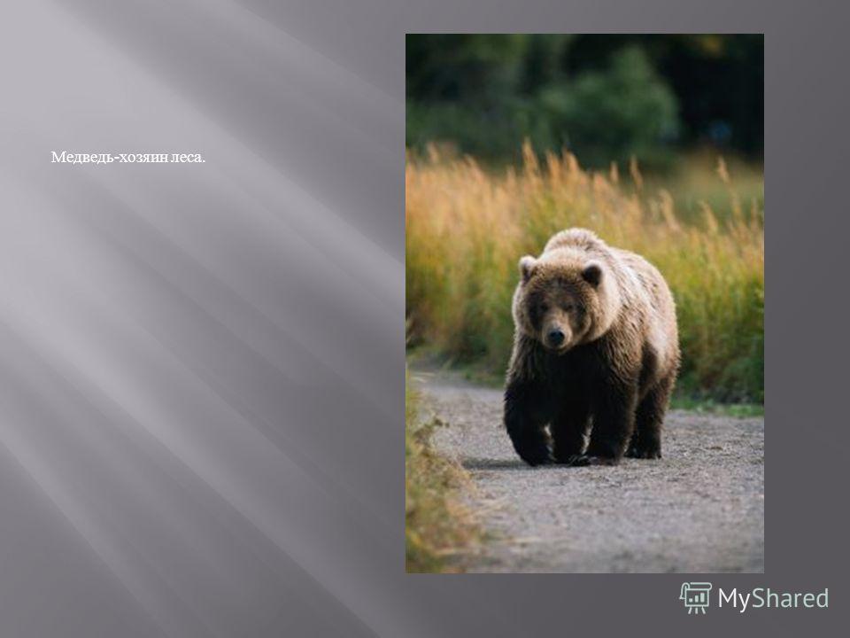 Медведь - хозяин леса.