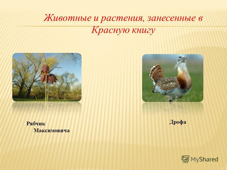 Животные и растения, занесенные в Красную книгу Рябчик Максимовича Дрофа