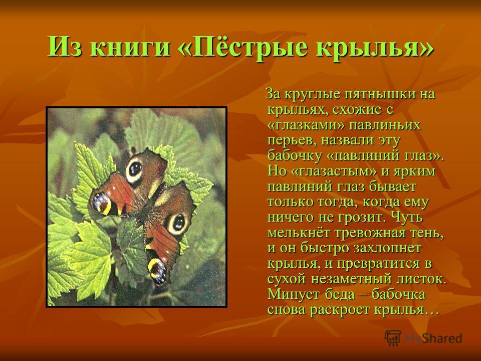 Из книги «Пёстрые крылья» За круглые пятнышки на крыльях, схожие с «глазками» павлиньих перьев, назвали эту бабочку «павлиний глаз». Но «глазастым» и ярким павлиний глаз бывает только тогда, когда ему ничего не грозит. Чуть мелькнёт тревожная тень, и