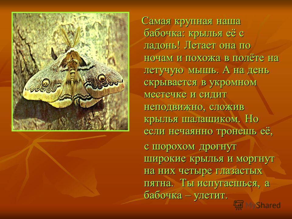 Самая крупная наша бабочка: крылья её с ладонь! Летает она по ночам и похожа в полёте на летучую мышь. А на день скрывается в укромном местечке и сидит неподвижно, сложив крылья шалашиком. Но если нечаянно тронешь её, Самая крупная наша бабочка: крыл