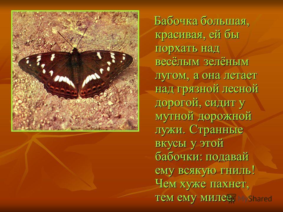 Бабочка большая, красивая, ей бы порхать над весёлым зелёным лугом, а она летает над грязной лесной дорогой, сидит у мутной дорожной лужи. Странные вкусы у этой бабочки: подавай ему всякую гниль! Чем хуже пахнет, тем ему милее. Бабочка большая, краси