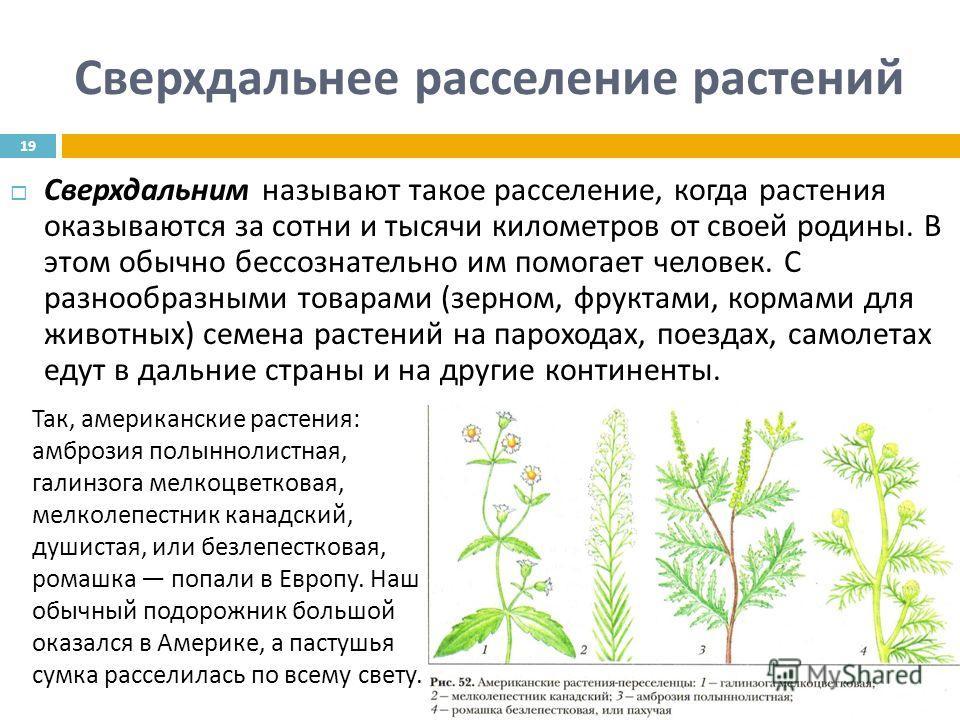 Сверхдальнее расселение растений Сверхдальним называют такое расселение, когда растения оказываются за сотни и тысячи километров от своей родины. В этом обычно бессознательно им помогает человек. С разнообразными товарами ( зерном, фруктами, кормами