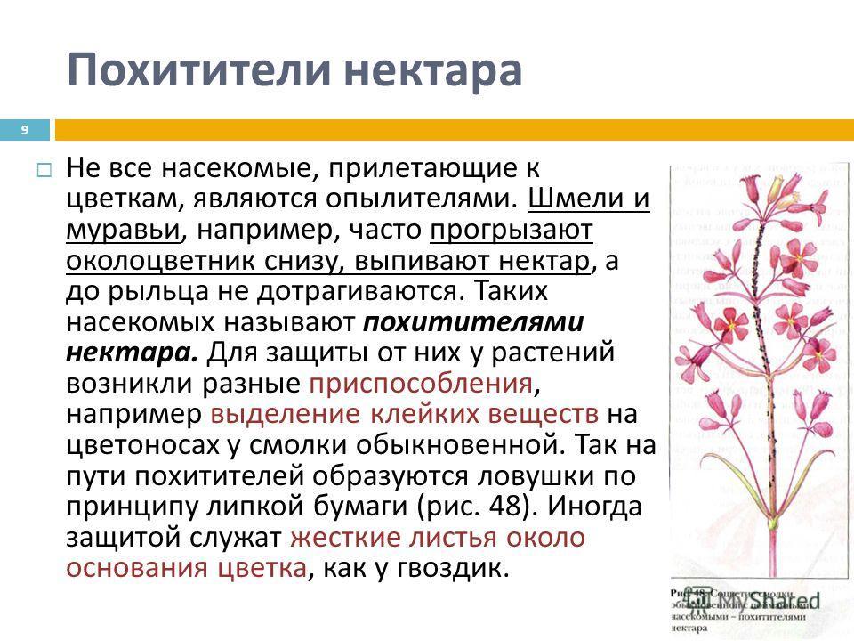 Похитители нектара Не все насекомые, прилетающие к цветкам, являются опылителями. Шмели и муравьи, например, часто прогрызают околоцветник снизу, выпивают нектар, а до рыльца не дотрагиваются. Таких насекомых называют похитителями нектара. Для защиты