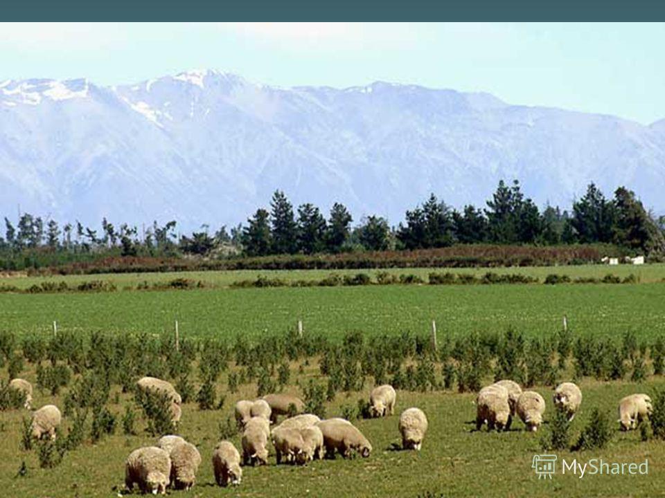Карезина Нина Валентиновна В Австралии в больших количествах разводят крупный рогатый скот, а также овец.В Австралии в больших количествах разводят крупный рогатый скот, а также овец. Австралия занимает одно из первых мест в мире по по поголовью тонк