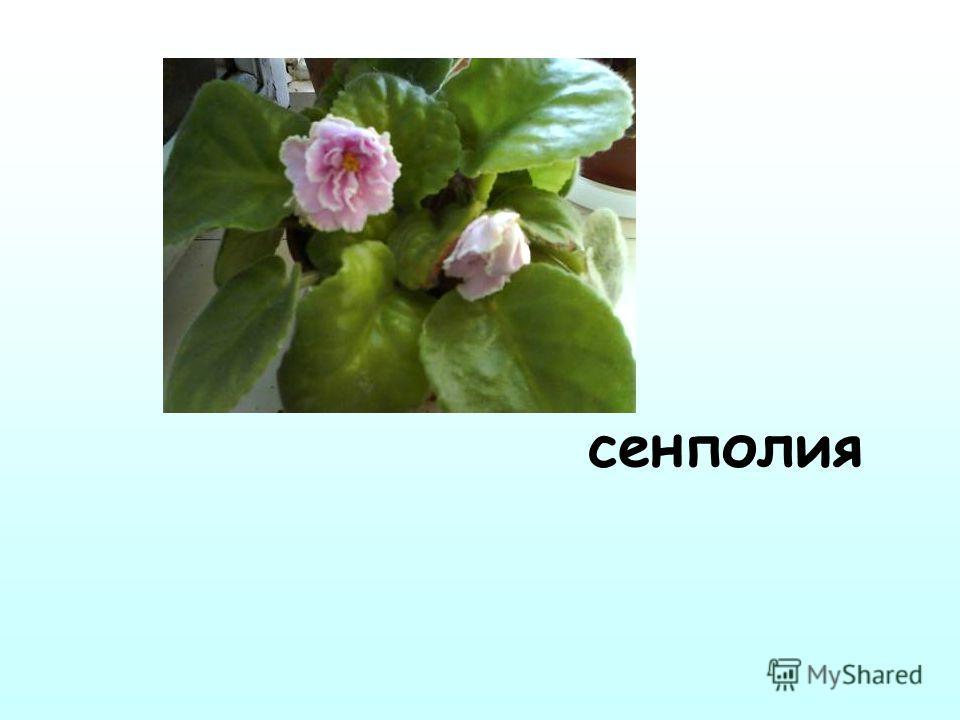 сенполия