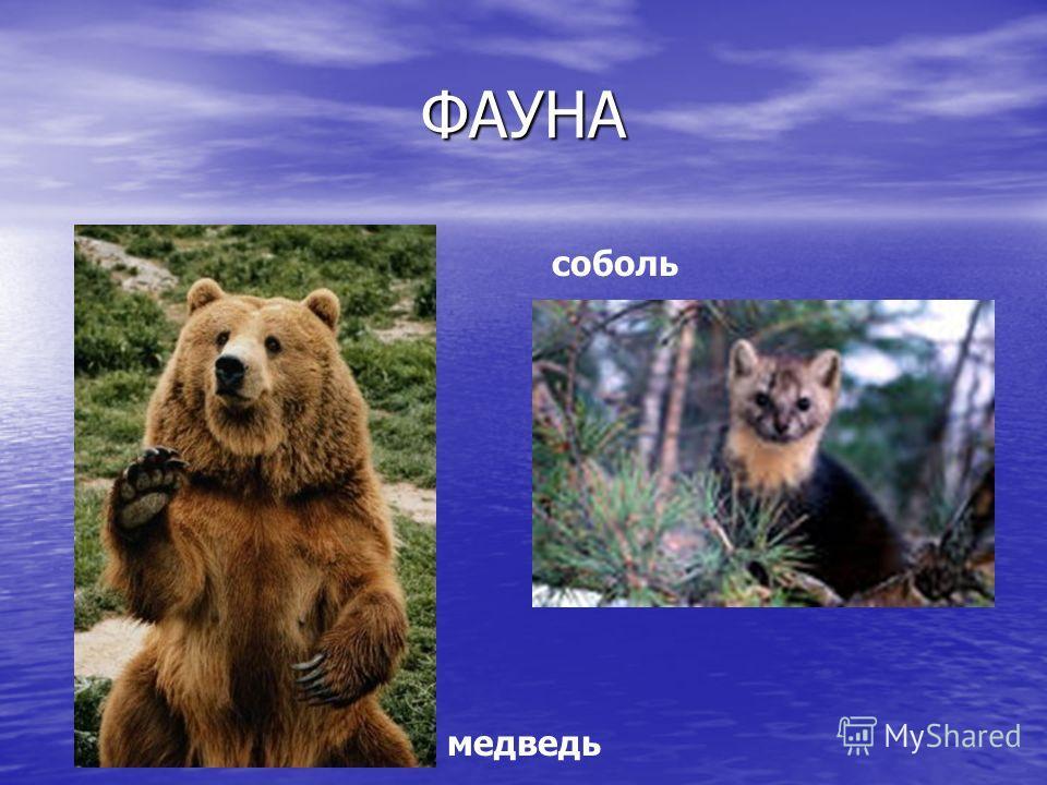 ФАУНА медведь соболь