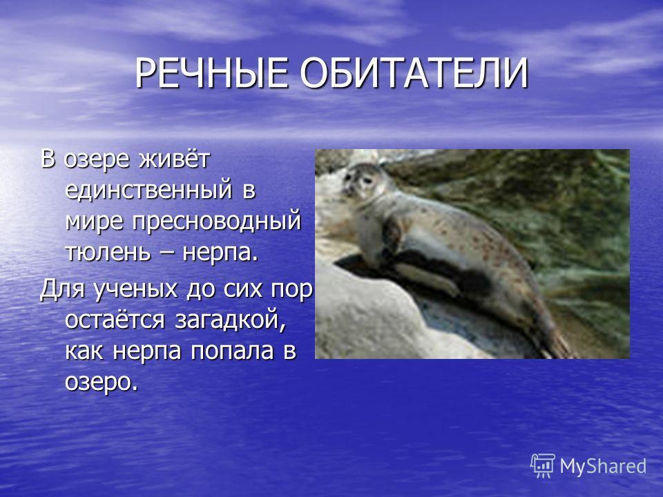 РЕЧНЫЕ ОБИТАТЕЛИ В озере живёт единственный в мире пресноводный тюлень – нерпа. Для ученых до сих пор остаётся загадкой, как нерпа попала в озеро.