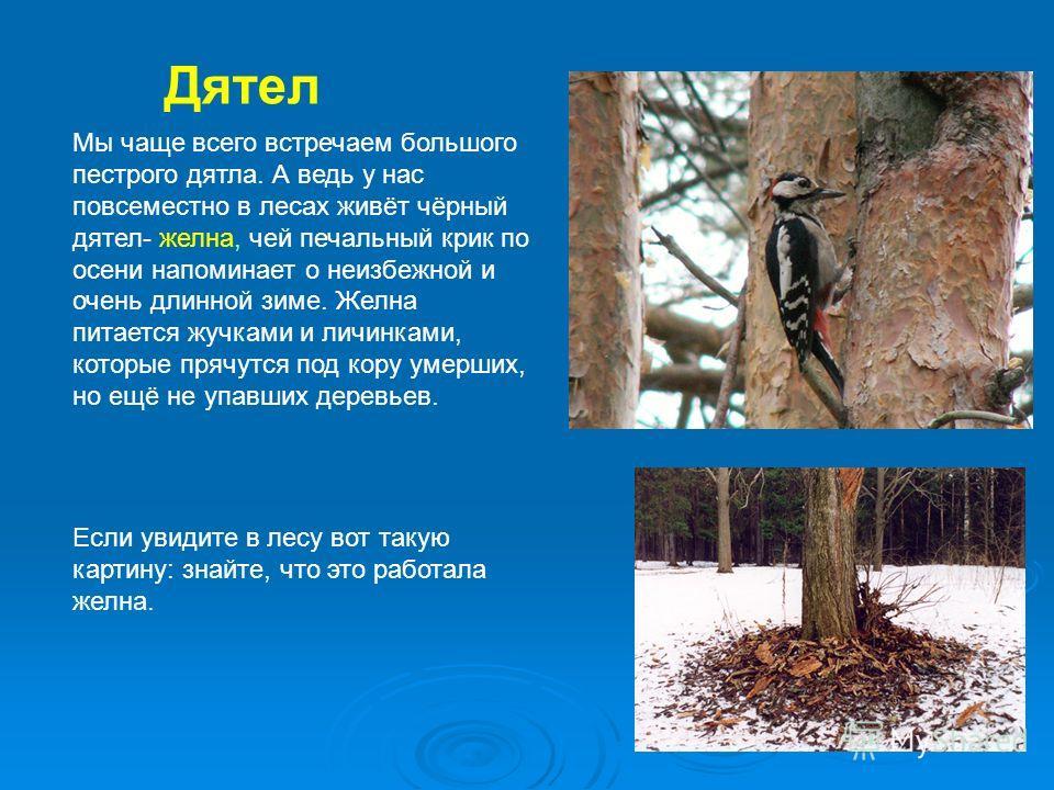 Дятел Мы чаще всего встречаем большого пестрого дятла. А ведь у нас повсеместно в лесах живёт чёрный дятел- желна, чей печальный крик по осени напоминает о неизбежной и очень длинной зиме. Желна питается жучками и личинками, которые прячутся под кору
