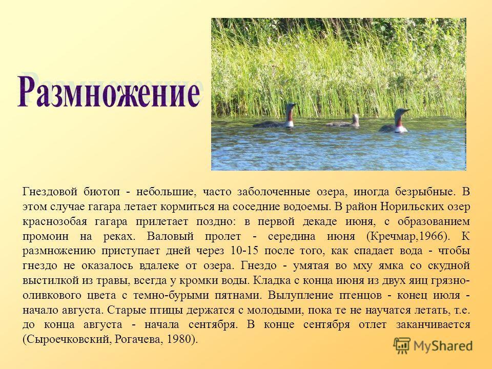Гнездовой биотоп - небольшие, часто заболоченные озера, иногда безрыбные. В этом случае гагара летает кормиться на соседние водоемы. В район Норильских озер краснозобая гагара прилетает поздно: в первой декаде июня, с образованием промоин на реках. В