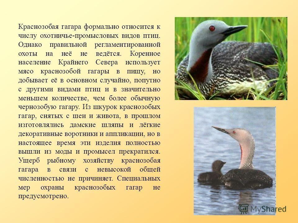Краснозобая гагара формально относится к числу охотничье-промысловых видов птиц. Однако правильной регламентированной охоты на неё не ведётся. Коренное население Крайнего Севера использует мясо краснозобой гагары в пищу, но добывает её в основном слу