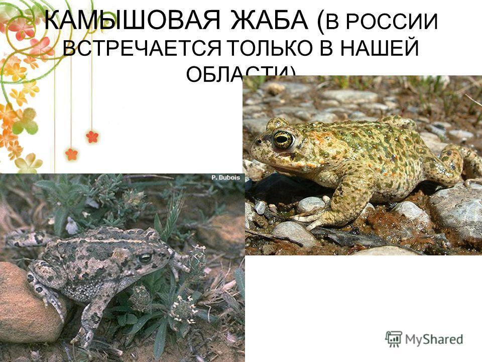 КАМЫШОВАЯ ЖАБА ( В РОССИИ ВСТРЕЧАЕТСЯ ТОЛЬКО В НАШЕЙ ОБЛАСТИ)